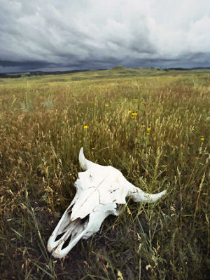 Bison skull on the prairie: Custer State Park
