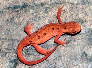 http://www.netstate.com/states/symb/amphibians/images/nh_spotted_newt_pingleton.jpg