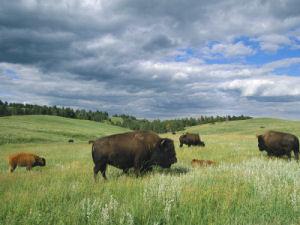 Bison Oklahoma Oklahoma state animal