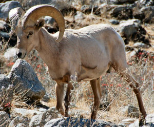 Nevada State Animal Desert Bighorn Sheep Ovis Canadensis Nelsoni From Netstate Com