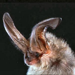 Image from Bat Conservation International