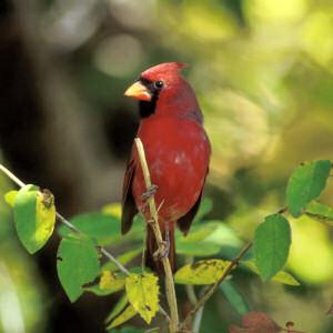 Virginia State Bird Cardinal Cardinalis Cardinalis From Netstate Com