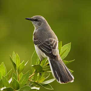 Picture Flower on Texas State Bird  Mockingbird  Mimus Polyglottos   From Netstate Com