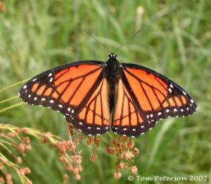 Butterfly Ky