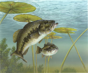 Alabama Game  Fish on Alabama State Fish  Largemouth Bass   Micropterus Salmoides  From