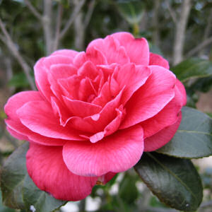 أنَوآعً الزَهُورً بـ English camellia.jpg