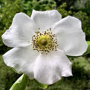 georgia flower