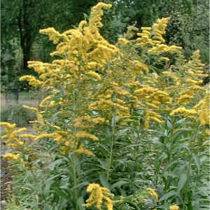 Kentucky State Flower Goldenrod Solidago