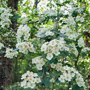 Missouri State Flower Hawthorn Blossom Crataegus