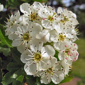 Hawthorn Fresh Flowers