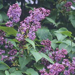purple finch purple lilac