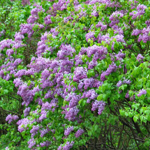 New Hampshire State Flower: Purple Lilac