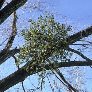 Oklahoma Floral Emblem:Mistletoe