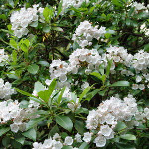 Pennsylvania State Flower Mountain Laurel Kalmia latifolia