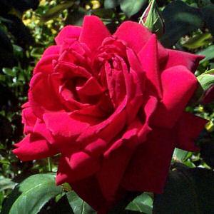 oklahoma rose - Ek Shair Jo Dil Ko Chhu Jaye