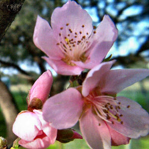 Delaware State Flower Peach Blossom Prunus persica