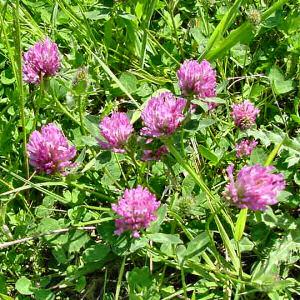 Vermont State Flower Red Clover Trifolium pratense