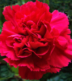 Ohio State Flower: Scarlet Carnation