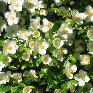 Idaho State Flower Syringa Philadelphus lewisii