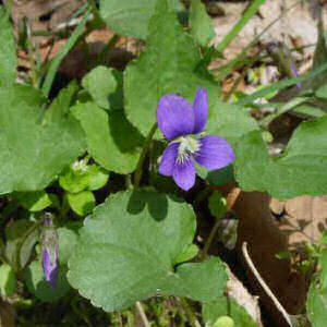 New Jersey State Flower Violet Viola Sororia From Netstate Com