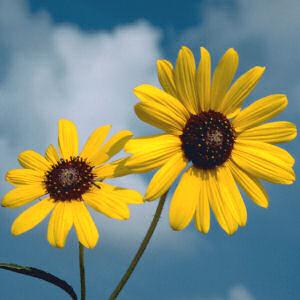 love flower sunflower