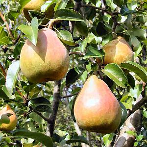 [Obrazek: pear.jpg]