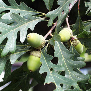 Illinois State Tree: White Oak